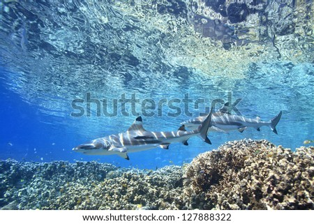 Two Blacktip Reef Sharks, Carcharhinus melantopterus, swimming over shallow corals  with the surface above. One shark has a slender suckerfish, or remora, Echeneis naucrates, attached to its side. - stock photo