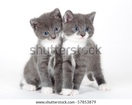 two blue eyed gray kitten isolated  on white - stock photo