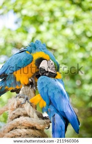 Two blue macaws on a green background  - stock photo