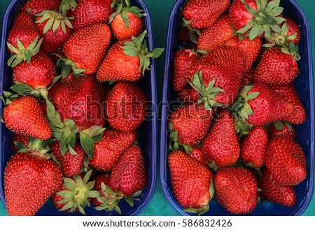 two blue plastic containers filled with fresh organic juicy strawberries ready to eat as a snack, or to prepare a nutritious smoothie