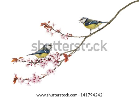 Two Blue Tits whistling on a flowering branch, Cyanistes caeruleus, isolated on white - stock photo