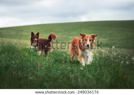 Two border collie dog walking in a meadow