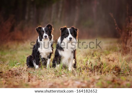 Two Border Collie in the woods - stock photo
