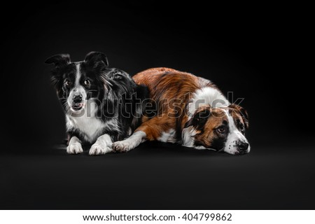 Two border collie lie