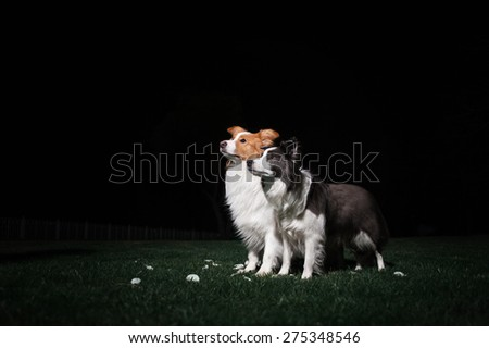 Two border collie on a dark background - stock photo