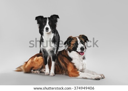 Two border collie on a gray background, isolate