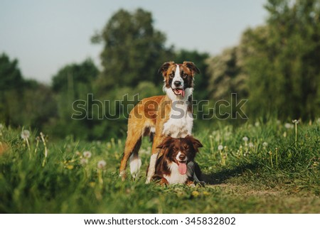 Two border collie on the nature
