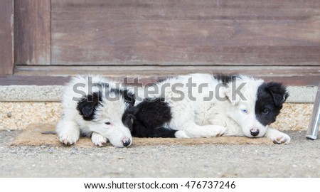 Two Border Collie puppies sleeping on a farm, one with blue eye