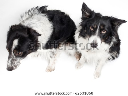 two border-collies from above