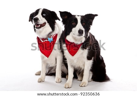 Two Border Collies in front of a white background with red banana on one blue eye one brown eye - stock photo