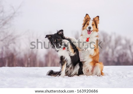 Two border collies on a winter walk - stock photo