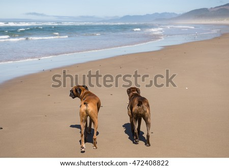 Two Boxer dogs walking on the beach