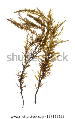 Two branches of brown Japanese wireweed Sargassum muticum seaweed isolated on white - stock photo