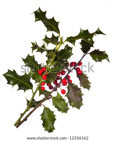 Two branches of real holly, with red berries, isolated on a white background - stock photo