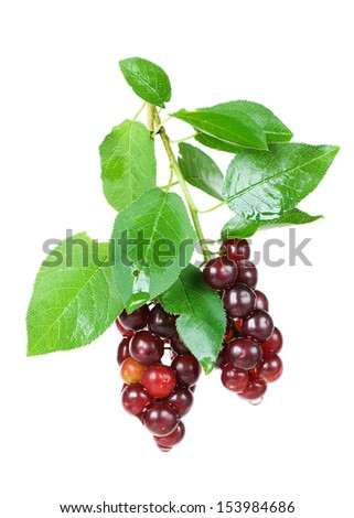two branches of the bird cherry with ripe berries on a white background