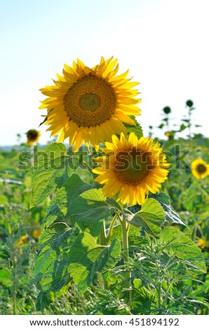 Two bright blooming sunflower closeup. Yellow flower, agricultural plant.