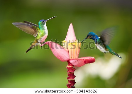 Two  bright blue and green hummingbirds, White-necked Jacobin,Florisuga mellivora and Andean emerald, Amazilia franciae, feeding from banana flower with raindrops, against abstract green background. - stock photo