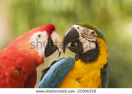 Two brightly colored macaws touching  beaks. One is a blue and yellow macaw (ara ararauna) and the other is a scarlet macaw (ara macao). These members of the parrot family are endangered.