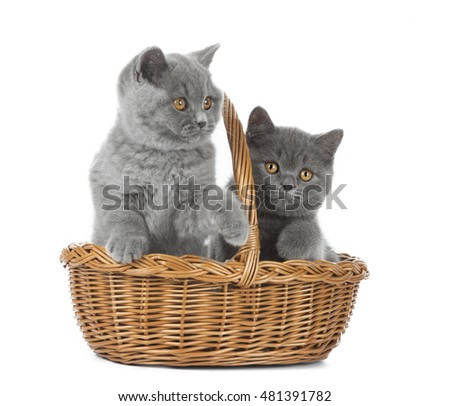 Two British kitten in basket on white background in Studio
