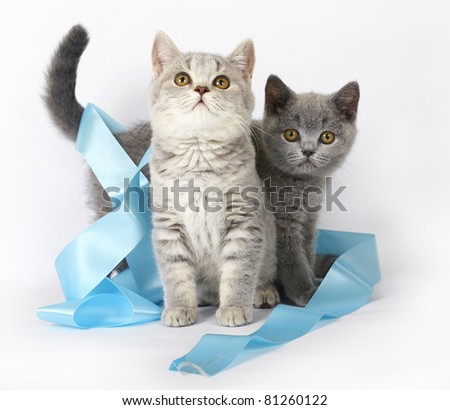 Two British kitten with blue ribbon - stock photo