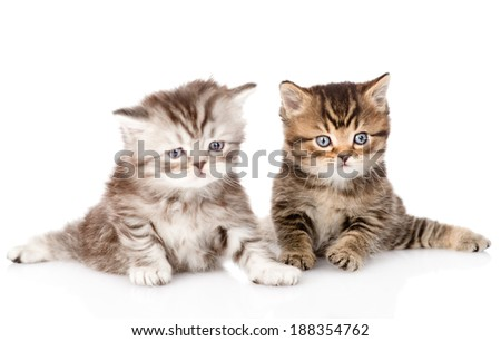 two british kittens looking at camera. isolated on white background