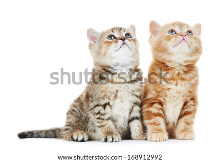 two british shorthair grey kitten cat isolated - stock photo
