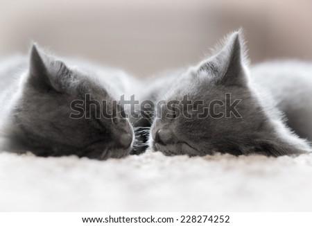 Two British Shorthair kitten sleeping. - stock photo