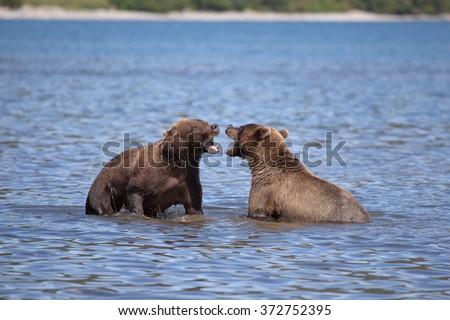 stock-photo-two-brown-bear-growl-kamchat
