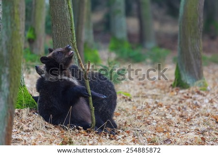 two brown bear is plying - stock photo
