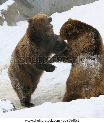 two brown bears playing in the snow - stock photo