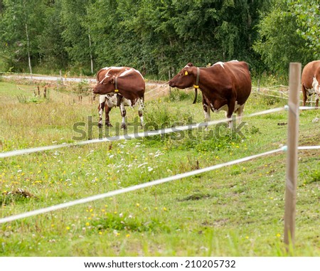two brown cows grazing in a field outside the fence - stock photo