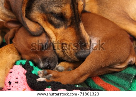 Two brown dogs asleep - stock photo