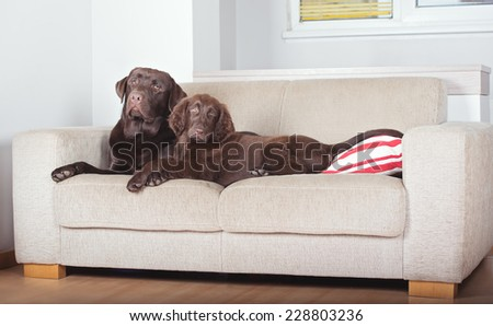 two brown dogs resting on a sofa - stock photo