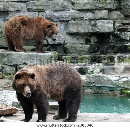 two brown grizzly bears - stock photo
