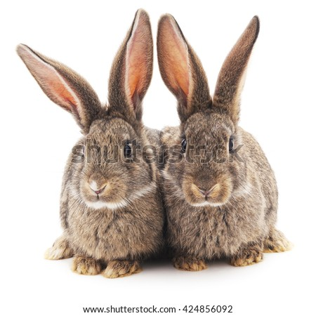 Two brown rabbits isolated on a white background.
