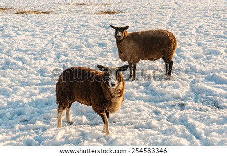 Two brown sheep curiously looking at the photographer while standing in a snowy meadow on a bright and sunny day in wintertime. - stock photo