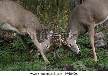two bucks fighting - stock photo