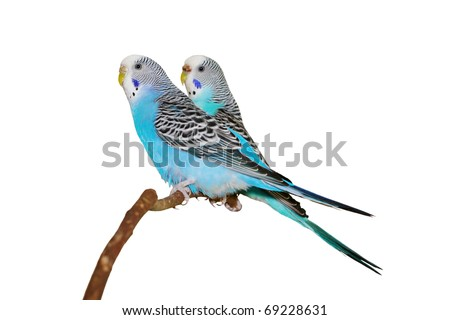 Two budgerigars on a white background. - stock photo