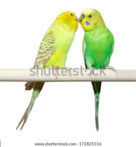 Two Budgie sit on a perch over white background - stock photo