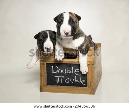 Two bull terrier puppies posed in a box - stock photo