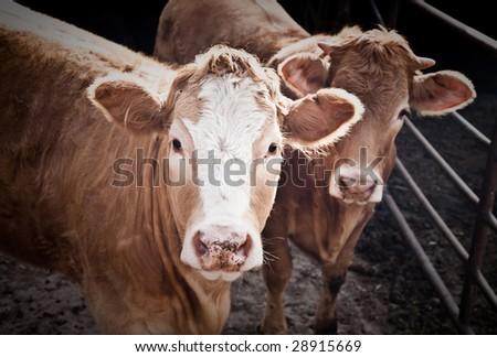 Two Bulls On The Farm. Israel Kibbutz - stock photo