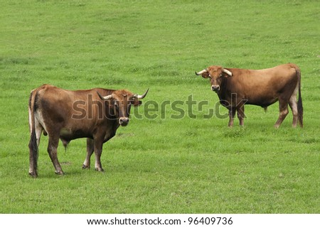 Two bulls Two bulls in a green field - stock photo
