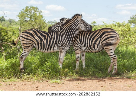 Two Burchell's Zebras in their Natural South African Habitat Standing Next to One Another and Hugging Each Other - stock photo
