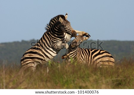 Two burchell zebra fight on the plains of Africa in Addo Elephant Park, Eastern Cape,South Africa - stock photo