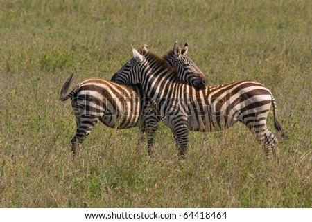 Two Burchell Zebras flirt - stock photo