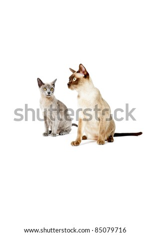 Two burmese cats isolated on white background