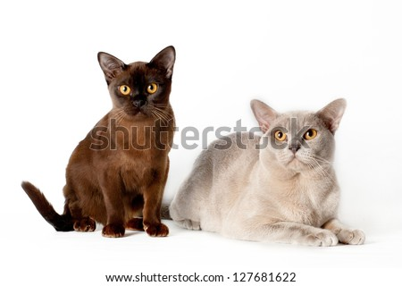 two burmese cats together - stock photo
