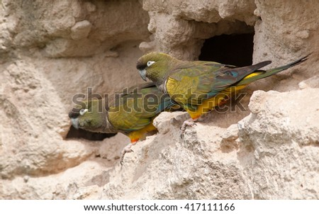 Two Burrowing Parrots (Cyanoliseus patagonus) at burrow entrance in the hills right in the middle of the city. Patagonia, Argentina, South America - stock photo