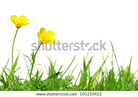 Two buttercups on grass isolated on white - stock photo