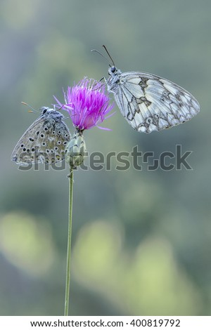 two butterflies together